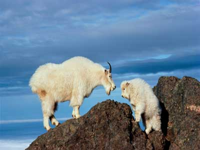 mountain-goats-arent-goats-1
